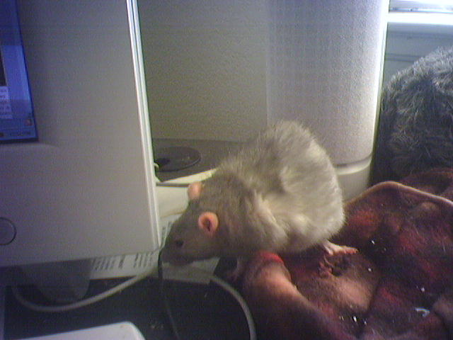 Friday Rat Blogging